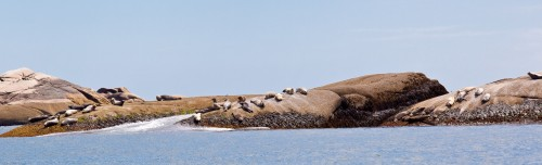 Seals on Bonny Chess Ledge
