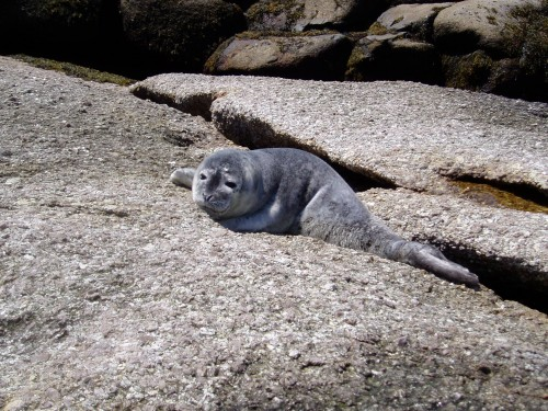 Baby Seal on Granite Ledge