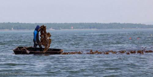 Larch pulls kelp into punt boat
