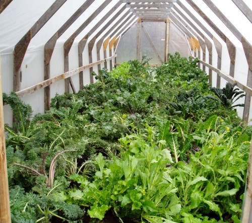 Greenhouse packed wall-to-wall with transplanted greens.